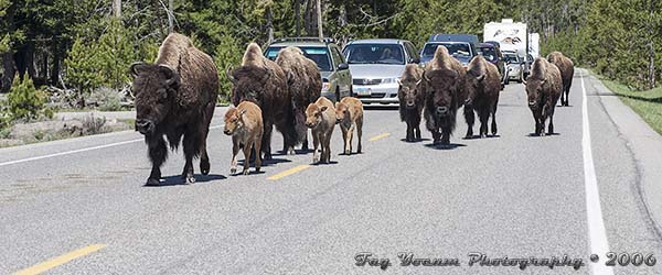 Bison cows and calves causing bison jam in Yellowstone National Park