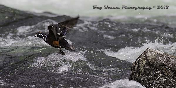 Harlequin Duck taking off from its rock perch
