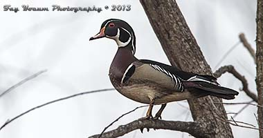 American Wood Duck in tree