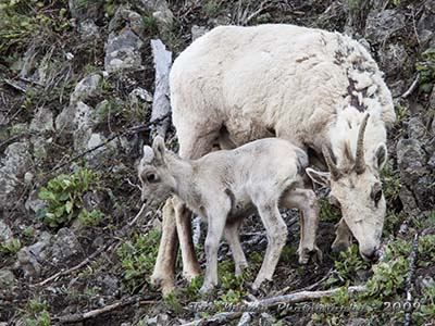 Bighorn ewe with young lamb