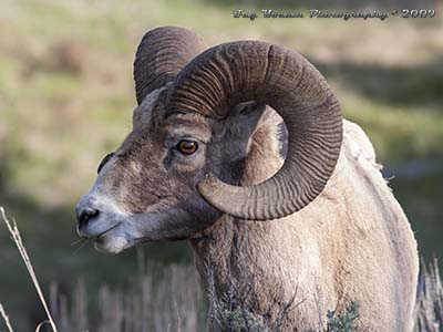 Bighorn sheep ram with tip of horn broken off