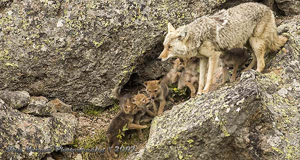 Coyote with pups on afternoon romp