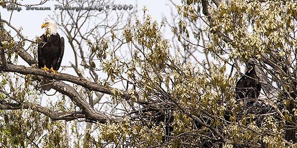Bald eagle adult standing guard over an eaglet