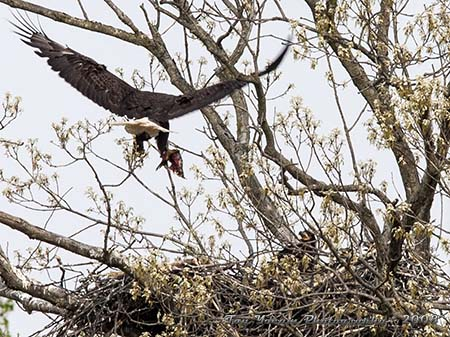 Eable parent flying in with food in talons