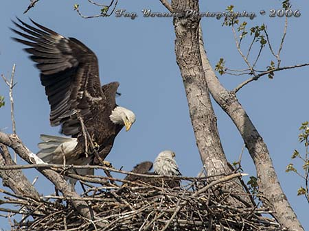 Adult eagle bringing stick to nest as the pair prepare for the season's breeding