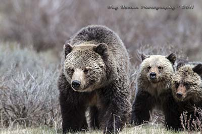 Grizzly mother with twin yearling cubs