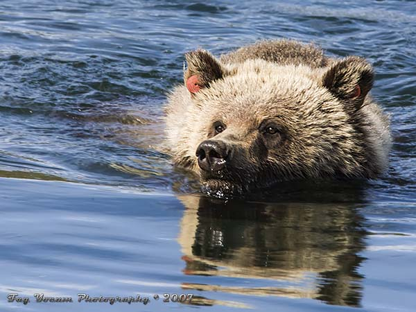 Grizzly bear swimming across the Yellowstone River