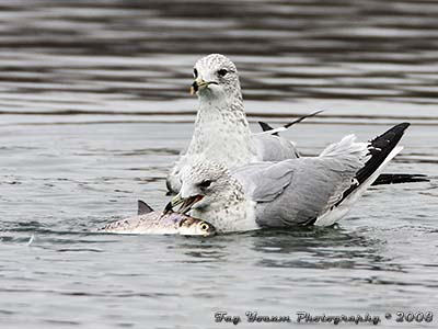 Ring-billed Gull eating a fish that is almost as big as it is