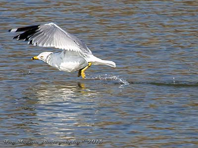 Ring-billed gull taking off from a lake
