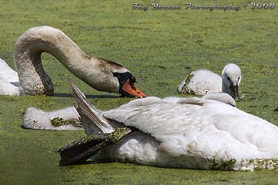 Mute Swan with cygnet, baby, eating