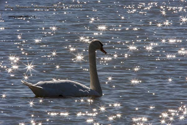 Mute swan swimming among the sun sparkles
