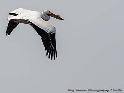 American White Pelican flying over Mississippi River