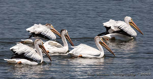 A group of American White Pelican swimming on the Mississippi River