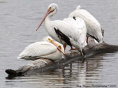 American White Pelicans sunning themselves on log in the Mississippi River