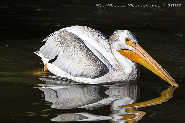 American White Pelican swimming